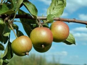 placki z jabłkami edycja 2